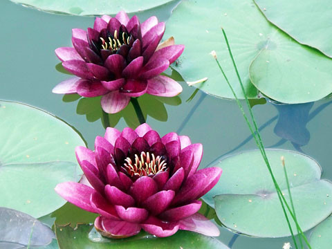 waterlily2